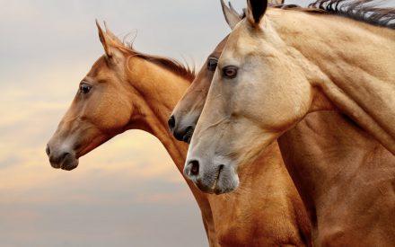 Pferde-Festival in Verden: VERDIANA 2016