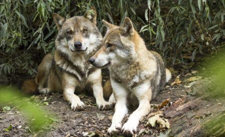 Ausflugtipp: In diesem Park leben Wölfe aus der ganzen Welt